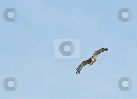 Hawk stock photo, An adult hawk shot with lots of blue sky copyspace by Richard Nelson