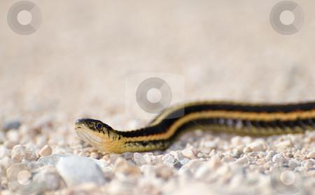 Garter Snake stock photo, An adult garter snake slithering across some gravel by Richard Nelson