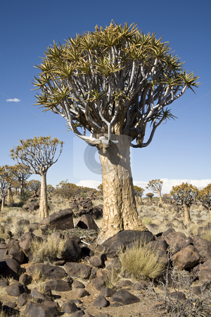 Quiver Tree stock photo, Quiver trees, Aloe dichotoma, southern Namibia, Africa by mdphot