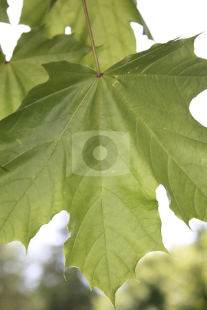 Maple in Color stock photo, The stately maple proudly displays its summer leaves. by Meg Fuller