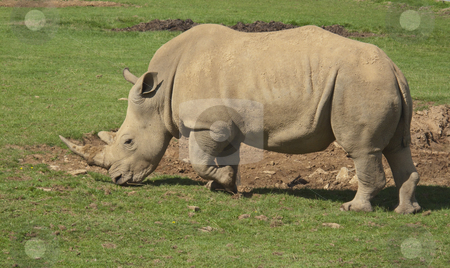 White Rhino stock photo, A wonderful male white Rhino wandering around looking for food by Stephen Clarke