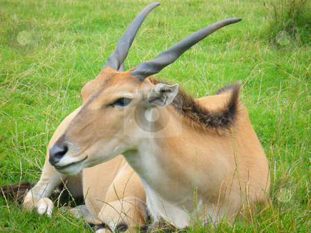 Antelope stock photo, An antelope relaxing quietly on the grass by Stephen Clarke