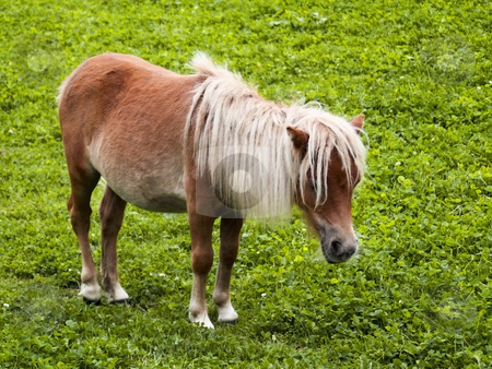 Minature shetland pony stock photo, A miniature shetland pony in a paddock in summer by Mike Smith