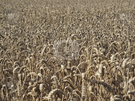 Field of Wheat stock photo, A field of wheat by Stephen Clarke