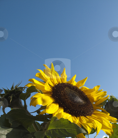 A Closeup shot of a Sunflower with a blue sky background stock photo, A Sunflower dancing in the sun with a lovely blue background by Stephen Clarke
