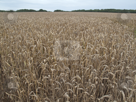 Field of Wheat stock photo, A field of wheat by Stephen Clarke