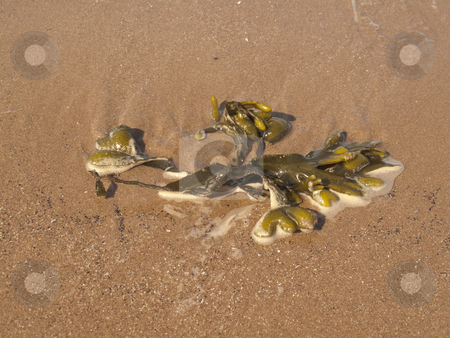 Seaweed on the Beach stock photo, A piece of seaweed drying out on the beach by Stephen Clarke