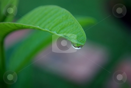 Rain drop stock photo, Rain drop on  the edge of a leaf by Charles Bacon jr
