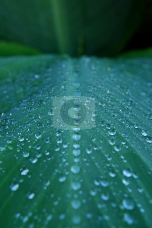 Wet canililly leaf stock photo, Rain drops line up on a canalilly leaf by Charles Bacon jr