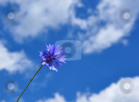 Cornflowers (Centaurea cyanus) stock photo, Cornflowers (Centaurea cyanus) by Robert Biedermann