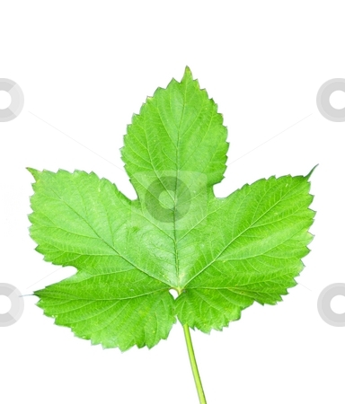 Isolated hop leaf stock photo, Isolated hop leaf by Robert Biedermann
