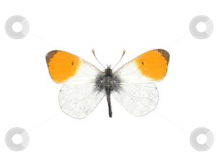 Orange tip (Anthocharis cardamines) stock photo, Orange tip (Anthocharis cardamines) by Robert Biedermann