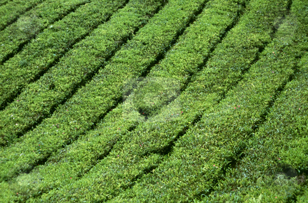 Tea plantation in the Cameron Highlands in Malaysia stock photo, Tea plantation in the Cameron Highlands in Malaysia by Robert Biedermann