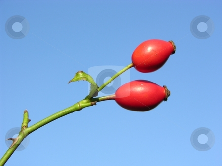 Rose hips stock photo, Rose hips in font of blue sky without clouds by Robert Biedermann