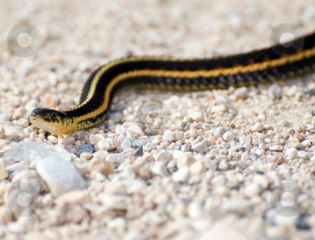 Garter Snake stock photo, Closeup view of a garter snake slithering across some stones outside by Richard Nelson