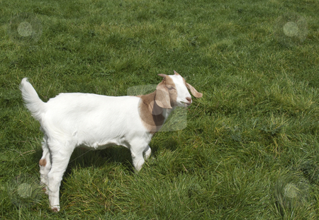 Goat stock photo, A baby goat in the middle of a field grazing by Stephen Clarke