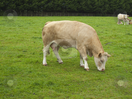 Cow stock photo, A cow munching away on grass in a meadow by Stephen Clarke