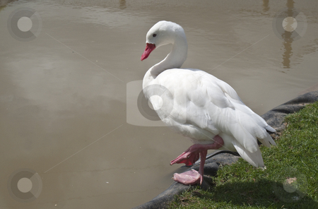 White Duck stock photo, A single white duck sat on the edge of a pond by Stephen Clarke