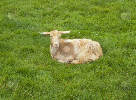 Goat - Sitting in field stock photo, A brown goat sitting in a lovely green meadow by Stephen Clarke
