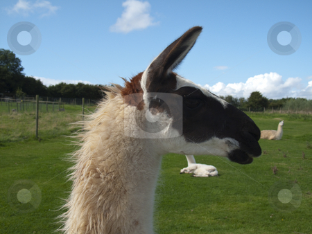 Llama stock photo, A closeupof a Llama's head - amongst others in the field by Stephen Clarke