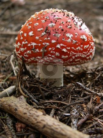 Poison mushroom stock photo, Poison mushroom by Sarka