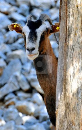 Wild goat (Kri-Kri) stock photo, Goat in the mountains of Crete, Greece by Fernando Barozza