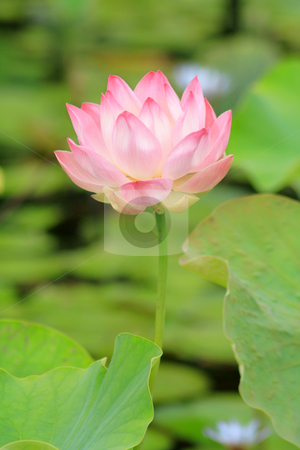 Nelumbo nucifera 005 stock photo, Lotus (Nelumbo nucifera) flower in full bloom, pink petals with green leaves in background by Steeve Dubois