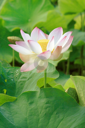 Nelumbo nucifera 008 stock photo, Lotus (Nelumbo nucifera) flower in full bloom, pink petals with green leaves in background by Steeve Dubois