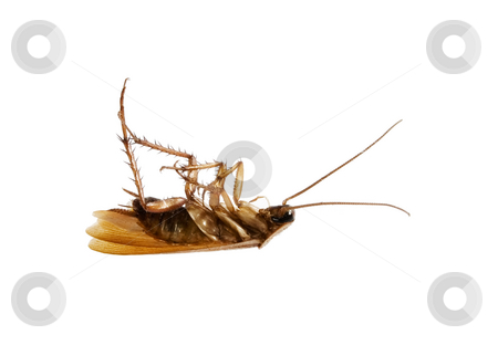 Dead Cockroach stock photo, Stock image of dead cockroach isolated on white by iodrakon