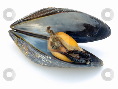 Mussel inside stock photo, Closeup of  open mussel with meat inside on a white background. by Sinisa Botas