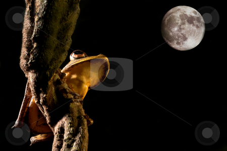 Tree frog looking at the moon stock photo, Tree frog hypsiboas geograficus at night in the Bolivian jungle by Dirk Ercken