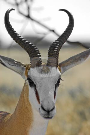 Springbok stock photo, Headshot of a springbok in Etosha National Park Namibia by Darren Pattterson