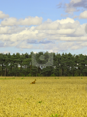 Deer in wheatfield stock photo, A roe deer running through a field of ripe wheat with pine trees in the background under a summer sky by Mike Smith
