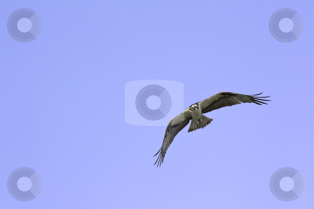 American osprey (Pandion haliaetus) in flight against a blue sky stock photo, American osprey (Pandion haliaetus) in flight turns on the wind against a bright blue sky on the coast of North Carolina USA by Stephen Goodwin