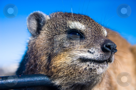 Is this my best side stock photo, Close up shot of a rock dassie on top of Table Mountain, cape Town South Africa by Darren Pattterson