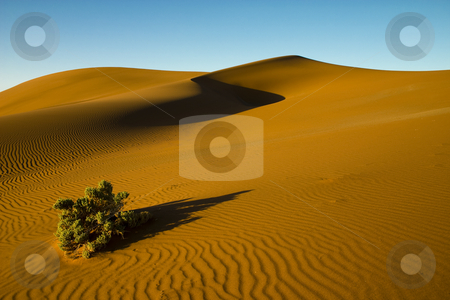 Desert bush stock photo, ?mage of a green bush surviving on a sand dune in the Namib Desert near Sossusvlei Namibia by Darren Pattterson
