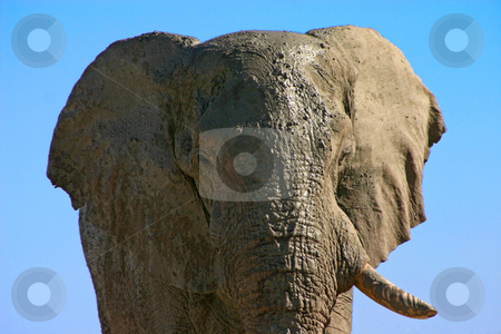 Old one tusk stock photo, Portrait of a large old bull elephant covered in mud with one tusk missing by Darren Pattterson