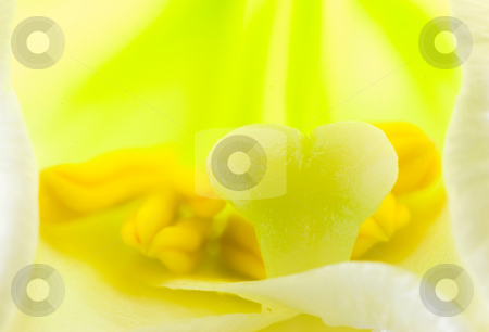 Interior of  lily flower stock photo, Interior of lily flower, detail of pistil and stamen by Lawren