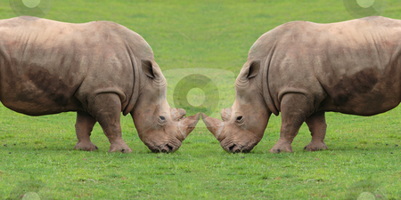 Rhinoceros stock photo, Two rhinoceros on fight by Bernardo Varela