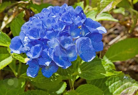 Blue Hydrangea Flower After Rain stock photo, This beautiful blue hydrangea flower is beautiful after a fresh summer rain. by Valerie Garner