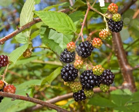 Fresh Blackberries on Vine stock photo, Fresh juicy ripe blackberries are hanging on the vines, just waiting to be picked. by Valerie Garner