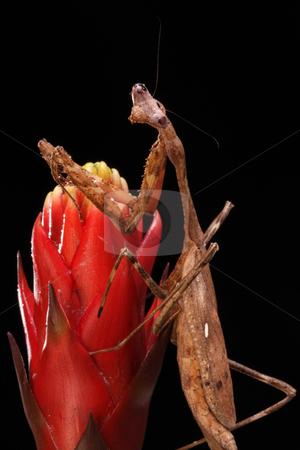 Praying Mantis stock photo, Praying Mantis on a black background by Karen Arnold