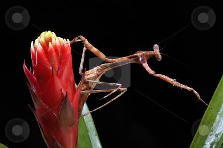 Praying Mantis stock photo, Praying Mantis reaching for a leaf on a black background by Karen Arnold