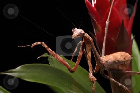 Praying Mantis stock photo, Praying Mantis on a black background in close-up by Karen Arnold