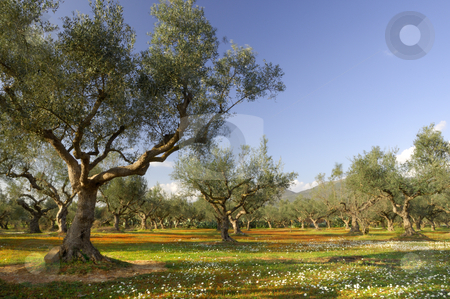 Olive tree field in Kalamata, Greece stock photo, Image shows an olive tree field from the famous Kalamata region in southern Greece by Andreas Karelias