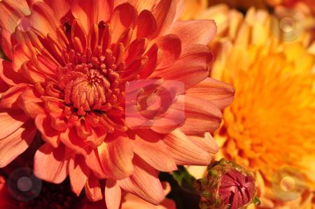Crysanthemum stock photo, USA, Idaho, Boise, Crysanthemum by David Ryan