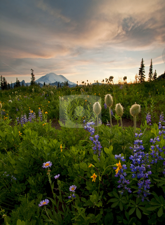 Lupine Sunset stock photo, Aster, Lupine and Western Anenome under the setting sun near Mt. Rainier by Mike Dawson