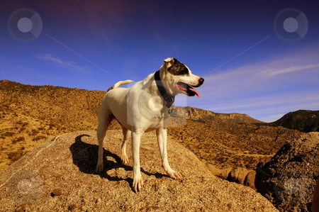 Mountain climbing dog stock photo, Rocco after climbing some of the Sandia Mountains in New Mexico by Brenton Kingsbauer