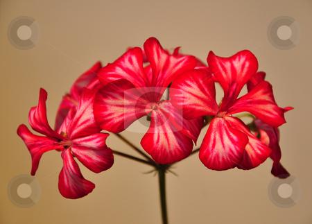 Geranium flower stock photo, Geranium flower by Robert Biedermann