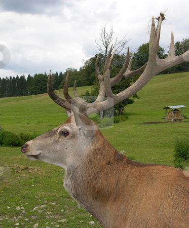 Red deer stock photo, Red deer by Robert Biedermann
